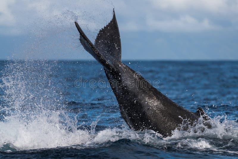 Ход peduncle горбатого кита стоковые изображения rf