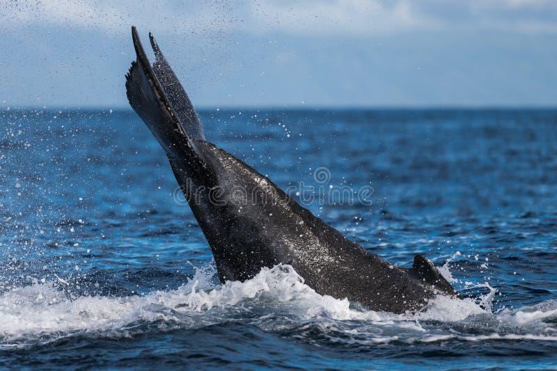 Ход peduncle горбатого кита стоковая фотография rf