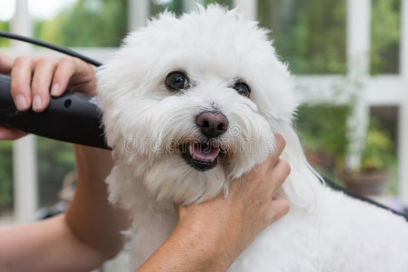 Холить милую белую собаку стоковая фотография rf