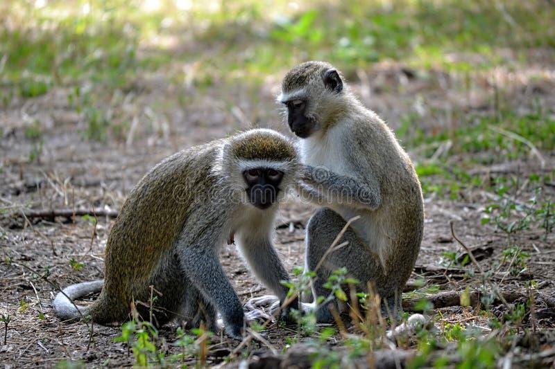 Холить обезьян Vervet стоковое фото