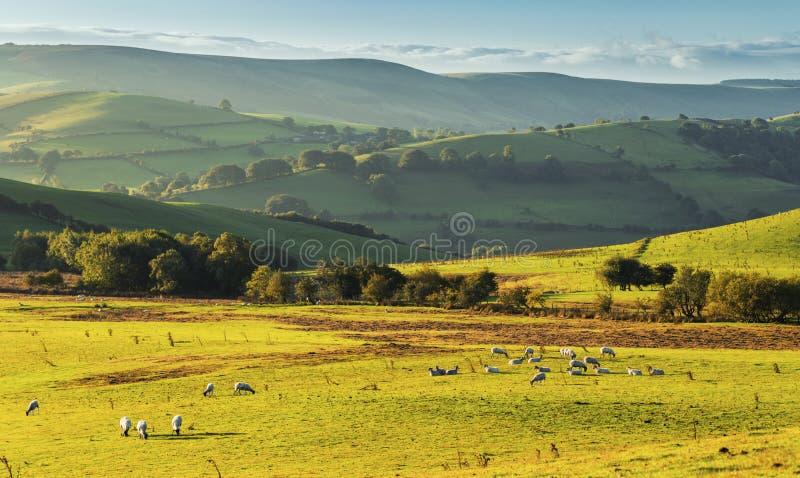 Холмистая сельская местность на восходе солнца с пасти стадо овец стоковое изображение