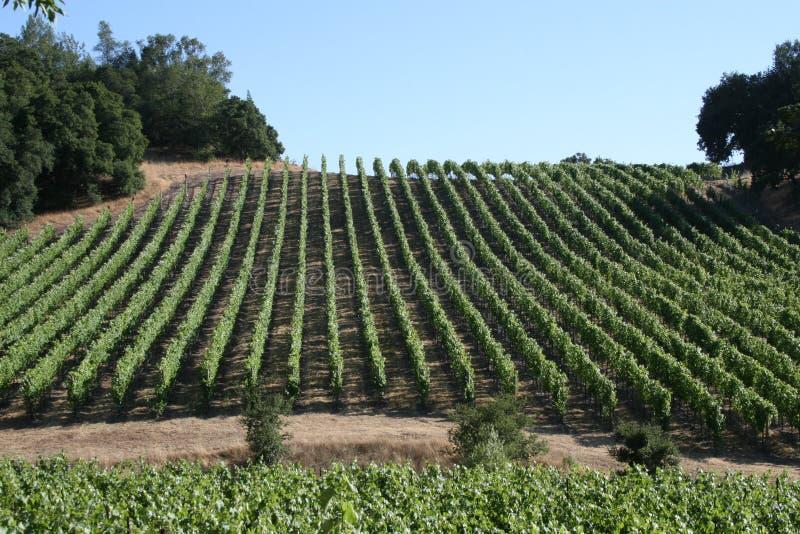 холмистый виноградник стоковое фото rf