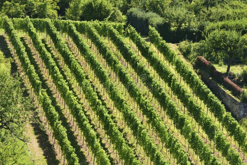 Холмистый виноградник #5, Штуттгарт стоковые фотографии rf