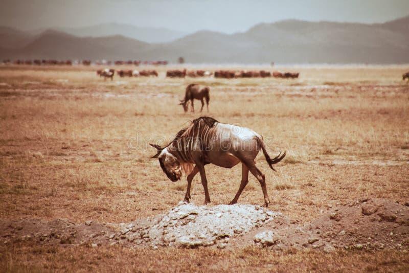 Холмы жары сафари национального парка Wildbeast Amboseli стоковая фотография rf
