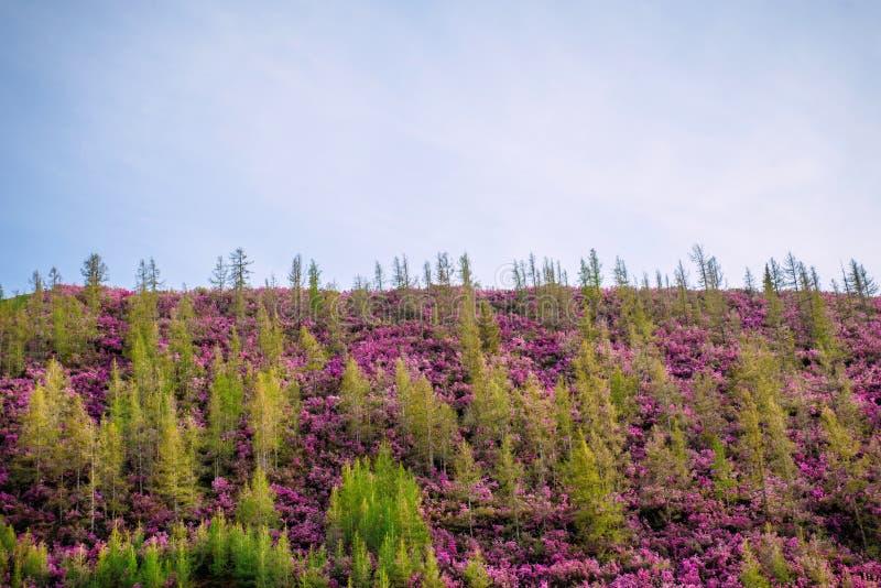 Холм перерастанный с молодыми зелеными соснами и пурпурными кустами Дикие азалии на наклонах гор r стоковые изображения
