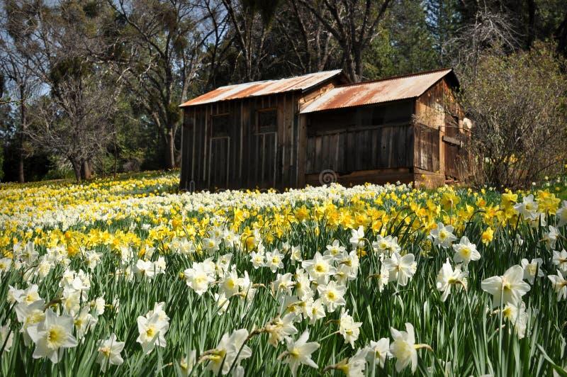 холм daffodil california кабины стоковые изображения rf