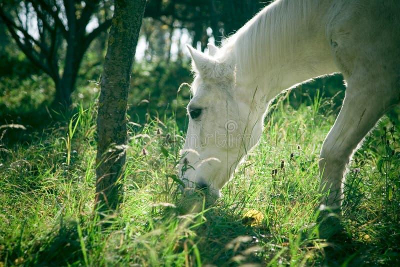 холодная пася белизна лошади стоковая фотография rf