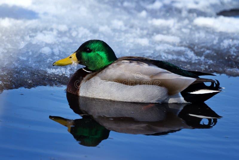 Холодная утка Стоковая Фотография