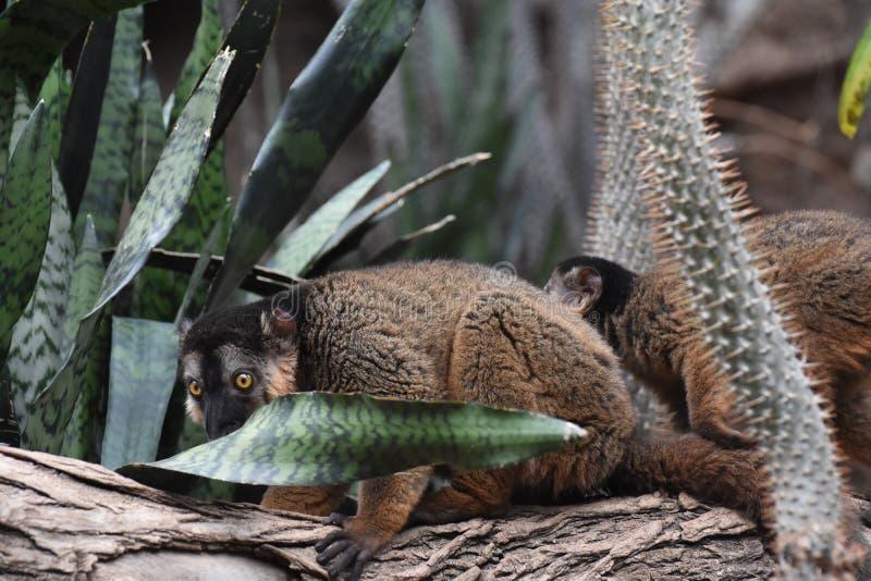 Холодные смотря лемуры Collared Брайном на дереве стоковые фотографии rf