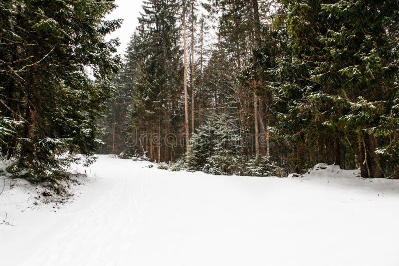 Холодный ландшафт леса сезона зимы во время снежностей стоковые изображения rf