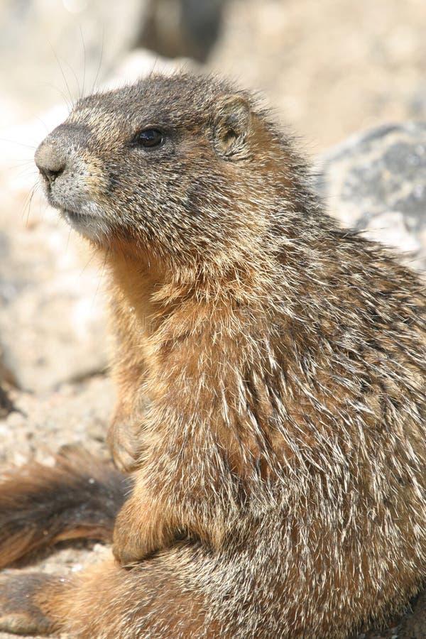 холодный Marmot Стоковые Изображения