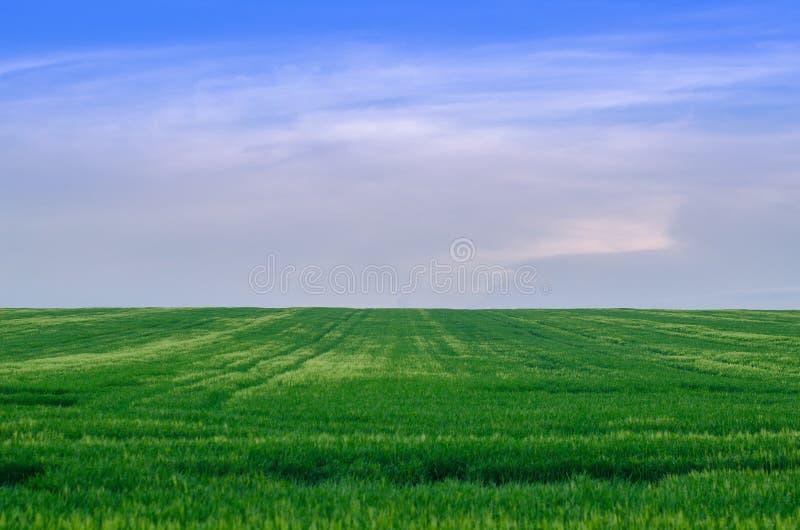 Хорошее пшеничное поле, Украина стоковое фото rf