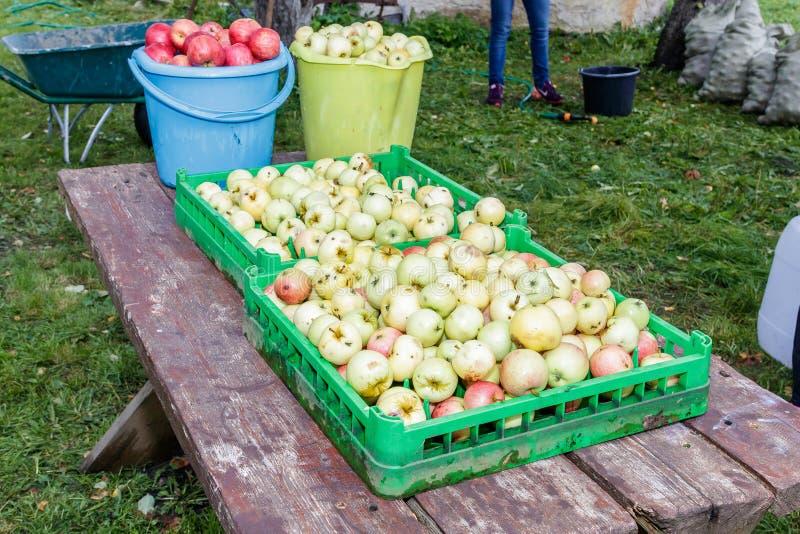 Хороший сбор яблока стоковые изображения