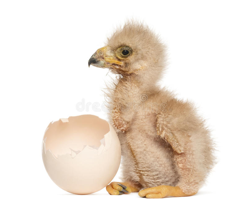 Хоук молодого Херриса рядом с яичком от которого он насидел вне стоковые фотографии rf
