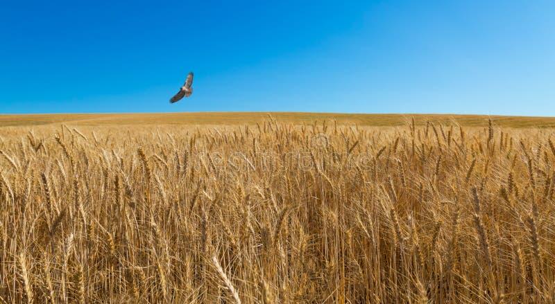 Хоук патрулирует пшеничное поле стоковое изображение rf