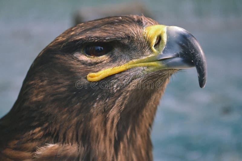 Хоук подобен к орлу Хищные птицы также стоковая фотография rf