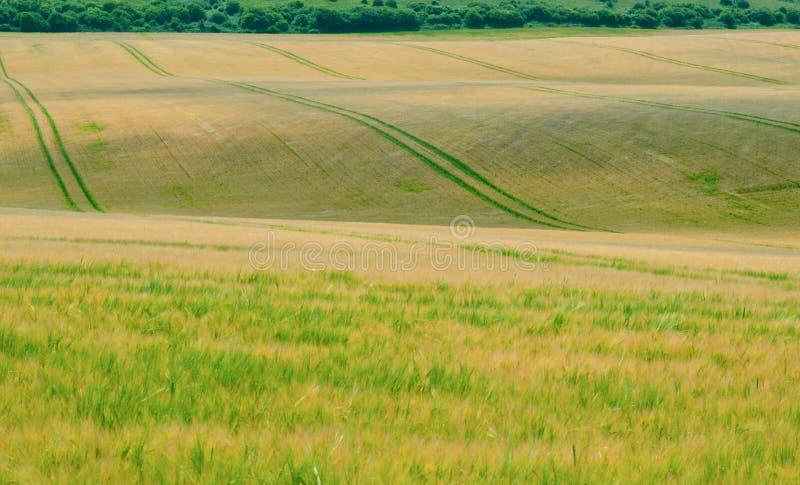 Холмообразное кукурузное поле 2 стоковые фото
