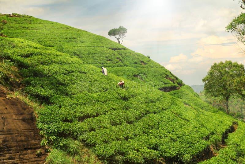 Холмы плантации чая стоковые фото