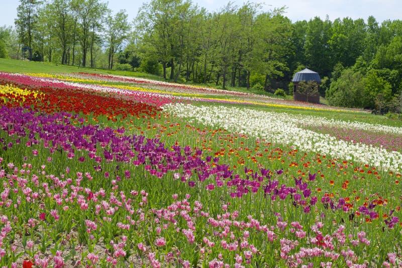 Холм тюльпанов стоковые фото