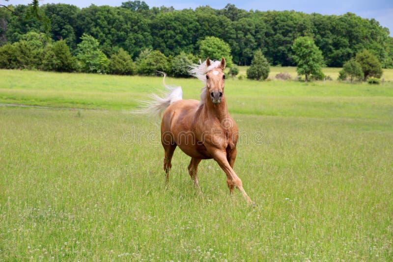 Ход лошади Palomino стоковая фотография rf
