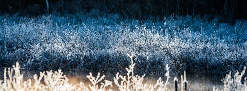 Холодные голубые кусты травы Рассвет утра на льде и заморозке покрыл листву заболоченного места стоковое изображение