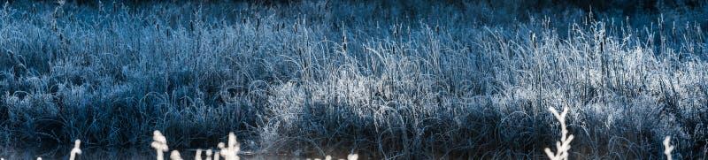 Холодные голубые кусты травы Рассвет утра на льде и заморозке покрыл листву заболоченного места стоковые фото