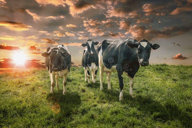 холодные коровы стоковая фотография rf