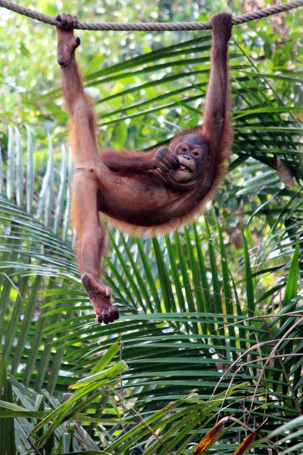 Холодный орангутан стоковая фотография