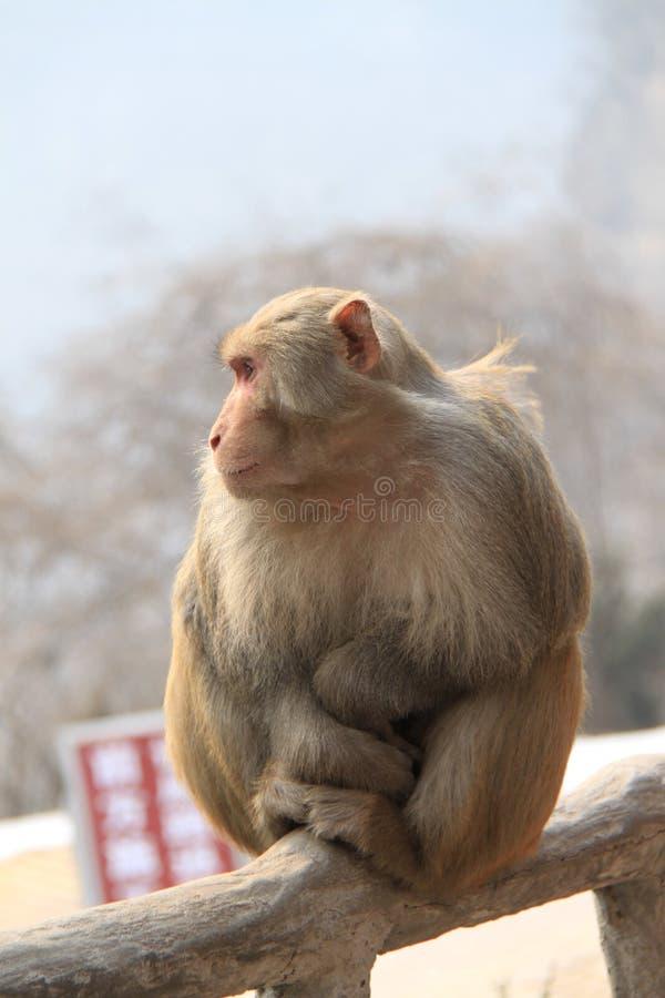 Холод обезьяны горы чувствуя стоковые изображения rf