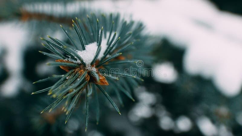 Холод съеденный Sprig с малым DOF с конусами сосны стоковые изображения