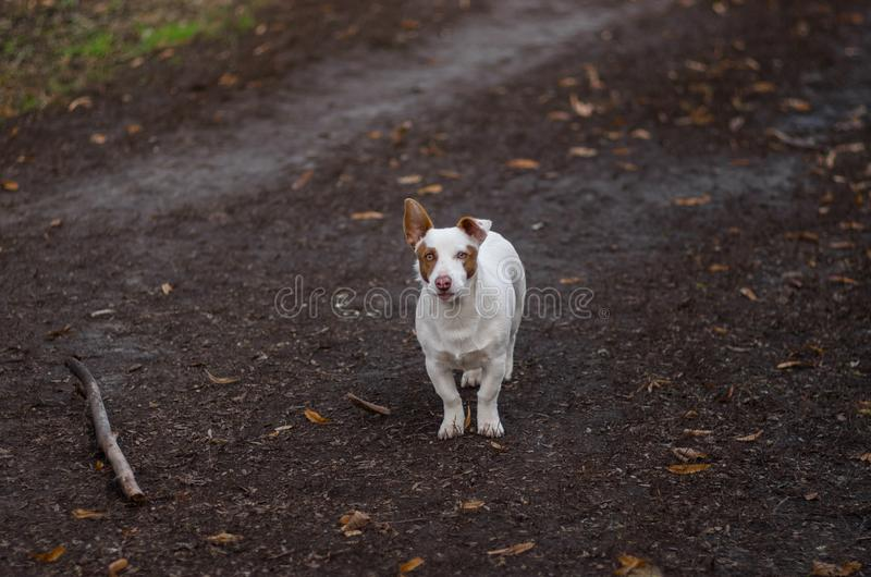 Храбрая белая и коренастая смешанная собака породы готовая для того чтобы защитить свое отечество стоковое изображение