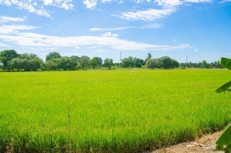 Хранят рис в Юго-Восточной Азии стоковое изображение