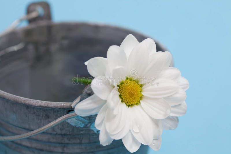 Хризантема в воде - фото запаса стоковые изображения rf