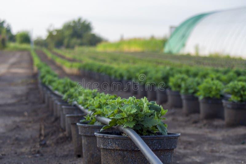 Хризантема, мамы или заводы chrysanths на поле с irrig стоковое изображение