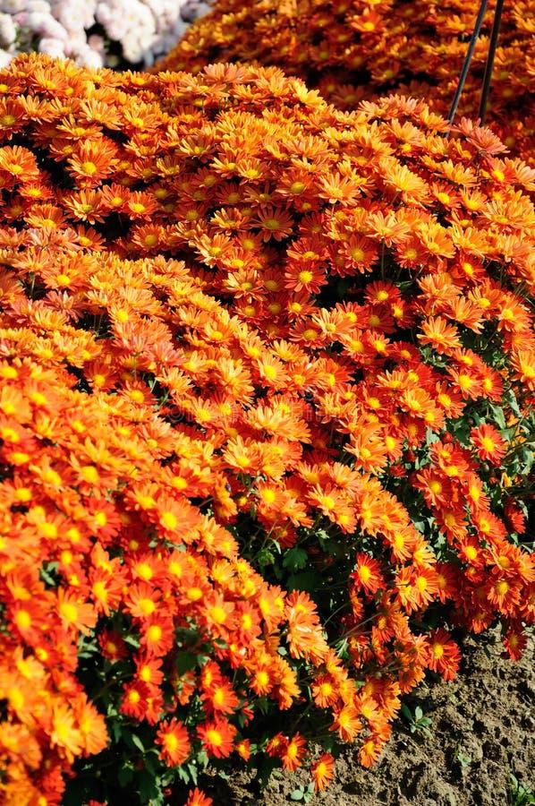 Хризантема померанцового красного цвета стоковые фотографии rf