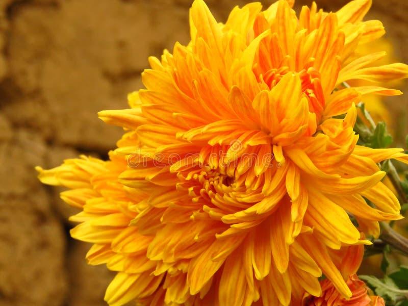 Хризантема цветет букет Красивый желтый цветок сада осени на запачканной предпосылке стоковые фото
