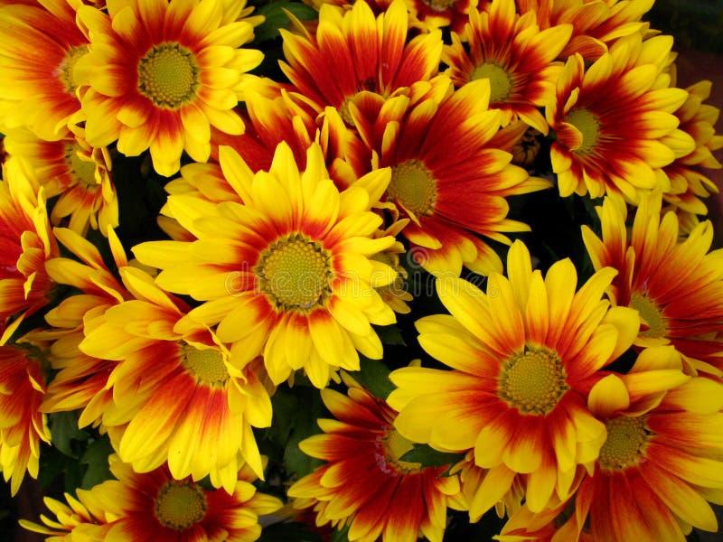 хризантема цветет красный желтый цвет стоковая фотография rf