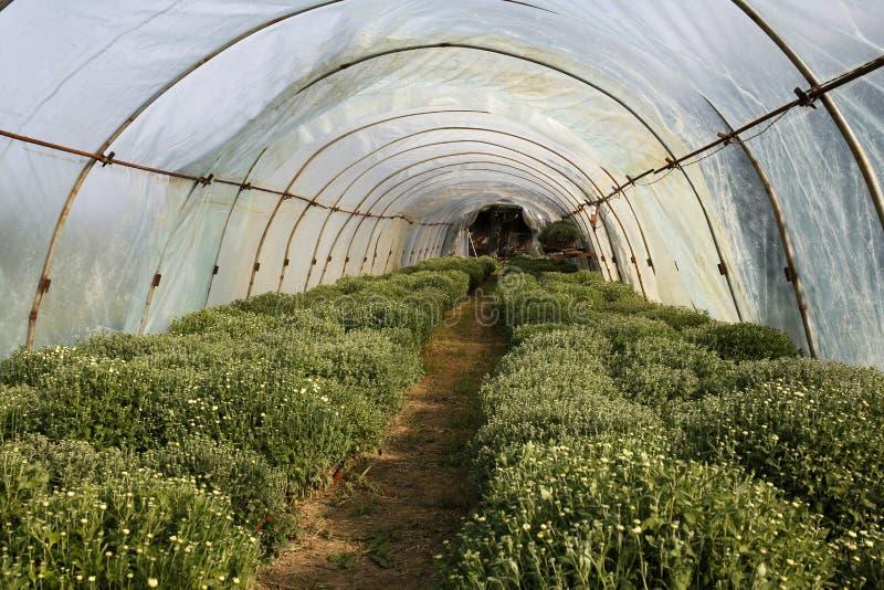 Хризантемы в парнике стоковое изображение rf