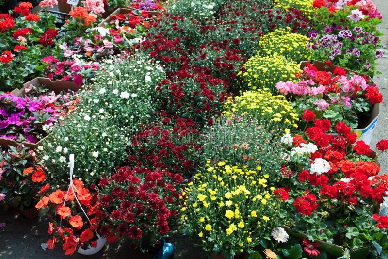 Хризантемы и гераниумы стоковая фотография rf