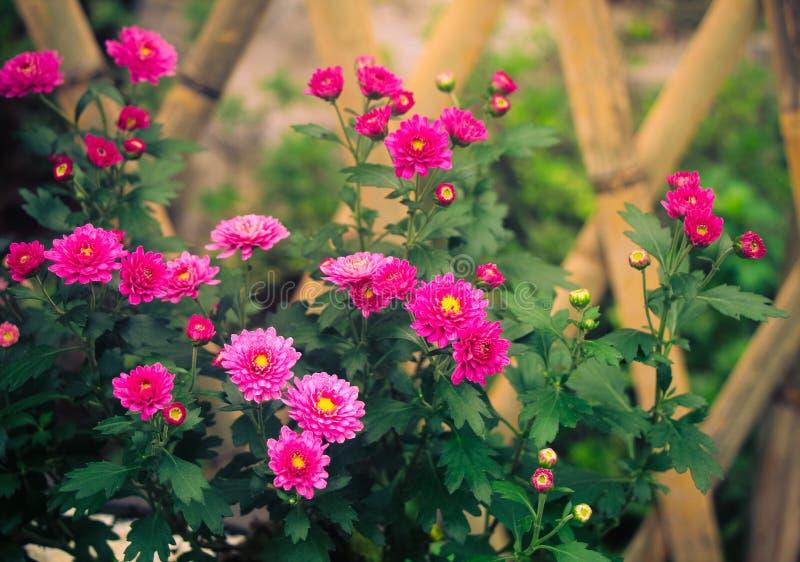 хризантемы стоковое фото rf