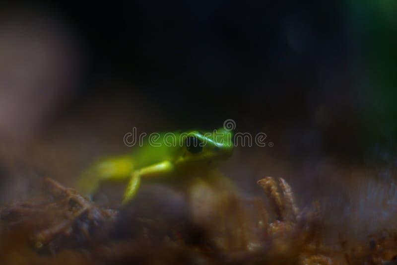 Художественный взгляд крупного плана лягушки дротика отравы клубники против b стоковые фото