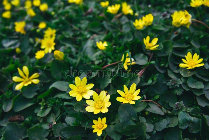 Художественный взгляд луга цветков предыдущей весны дикого желтого стоковые изображения
