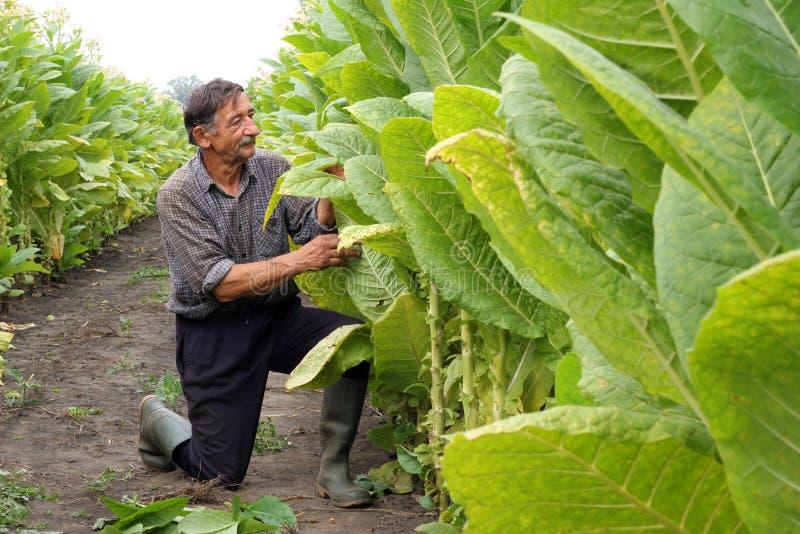 хуторянин выходит табак взглядов стоковое фото