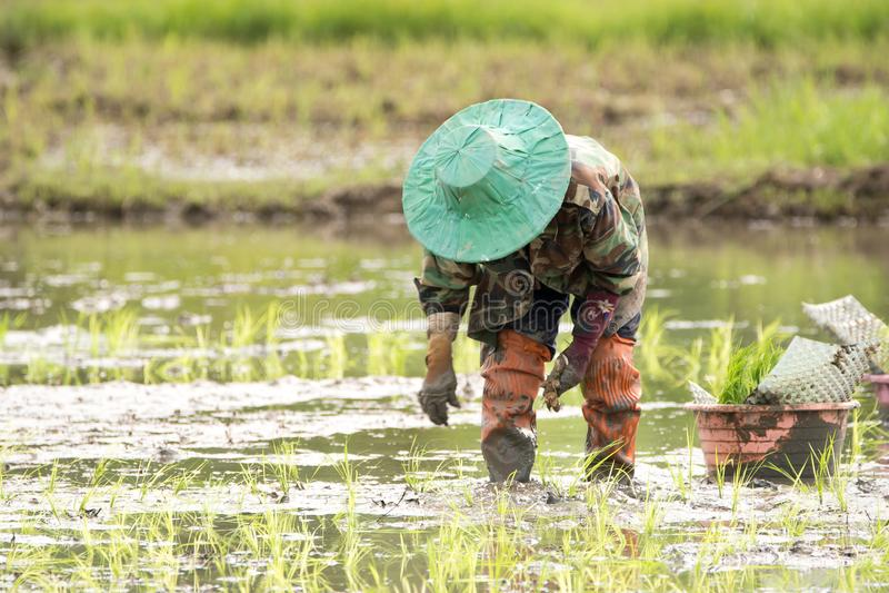 Хуторянин засаживают рис в ферме стоковые фотографии rf