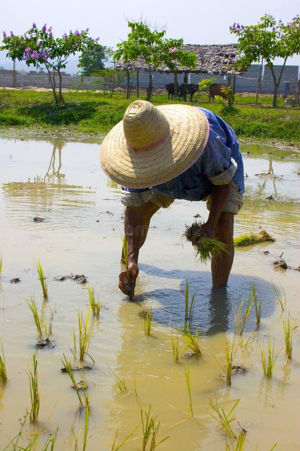 хуторянин засаживая рис тайский стоковое фото rf