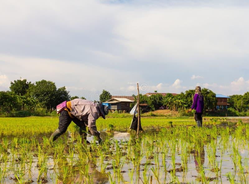 хуторянин засаживая рис стоковое изображение