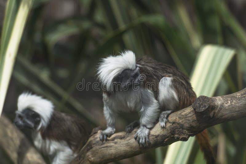 Download Хлопк-головый Tamarin (Saguinus Эдип) Стоковое Фото - изображение насчитывающей мило, green: 41657682