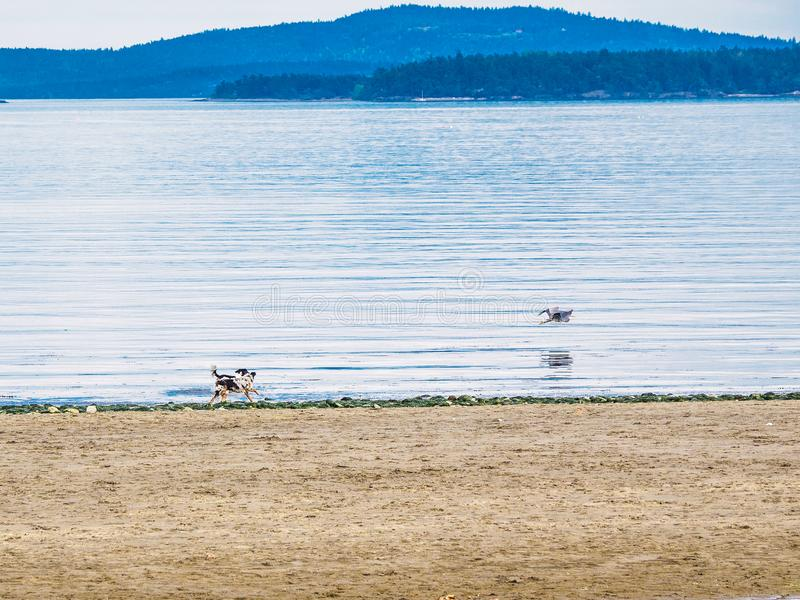 Цапля и собаки большой сини на пляже стоковые фото