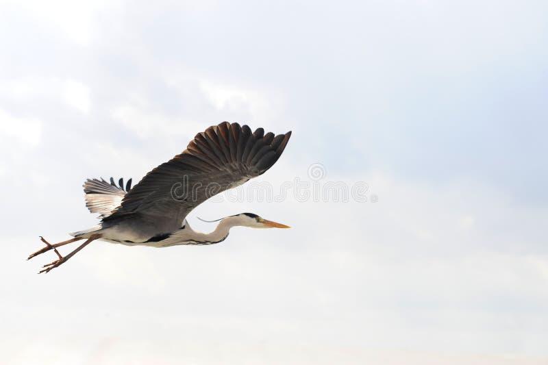 цапля летания стоковая фотография