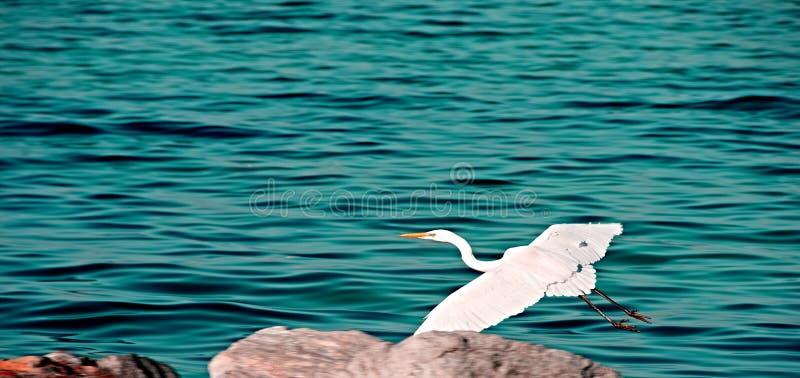 Цапля летая над морем стоковые изображения
